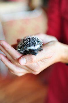 Baby Hedgehog awww!