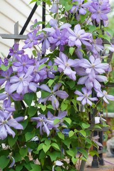 Clematis - This vine grew outside our rental house, and I'm gonna need it around the mailbox at our new house.