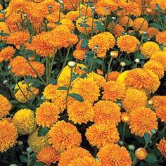 scented marigolds