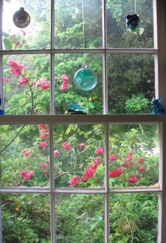 Kitchen window in spring, red climbing roses, witchballs.