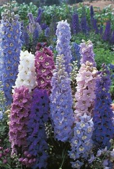 10 Light Blue Purple Delphunium Mix Seeds Perennial Giant Garden Flower Bright Sun Shade Exotic Yard