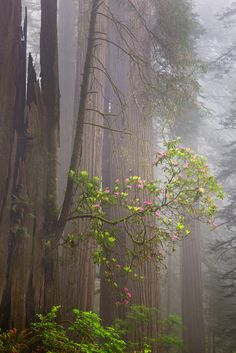 redwoods and rhodies.