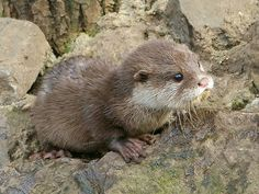 adorable river otter | otterly adorable