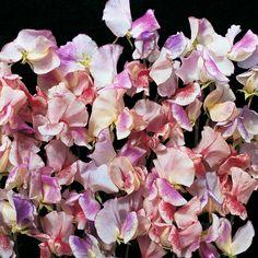 Sweet Pea 'Fragrant Ripples' - Hardy Annual Seeds - Thompson & Morgan