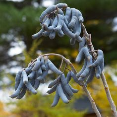 When planning your garden, be sure to include at least one unusual plant such as this blue sausage fruit (Decaisnea fargesii), which offers unique and edible fruits: http://www.bhg.com/gardening/landscaping-projects/landscape-basics/fall-landscaping-ideas/?socsrc=bhgpin092514pickacoolplant&page=10