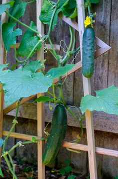 growing cucumbers vertically in an urban garden - Here are some facts about cucumbers you probably didn't know.
