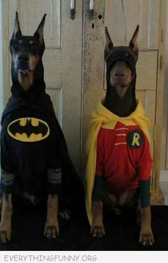 funny two dobermans dressed as batman robin