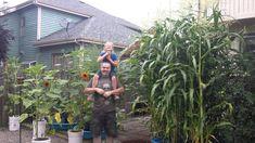 People Everywhere Raising Sweet Corn In The Kiddie Pool System! Wow!