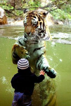 little children, animals, big cats, the zoo, tigers, zoos, beautiful creatures, friend, kid