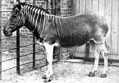 Extinct: The Quagga was a variety of Plains Zebra, marked by having stripes only on the front of its body, with hair color transitioning toward a light brown or tan along its rear and underbelly, until becoming white along its legs.