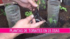 Plantas de tomate en 15 Dias
