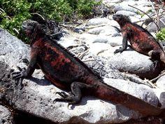 Galapagos Islands lizard, island land, galápago island, gallego island, galapagos islands, galapago island