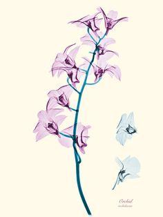 botanical illustration, floral xray, flower prints, art, brendan fitzpatrick, flowers, brendanfitzpatrick, flower photography, side tattoos
