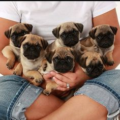 what is the group noun for a bunch of pugs? A fat roll of pugs? A snort of pugs?