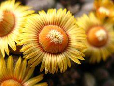 Aloinopsis schooneesii by ali kangal, via Flickr