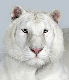 Credit: Barry Bland/Barcroft Media Sundari, a two-year-old female snow white Bengal tiger