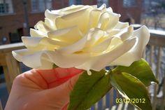cream gumpaste rose — by marybens