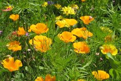Golden Poppies are the state flower of California.  However, these beauties can be spotted at Hanbury Hall, Worcestershire. 26 June 2014