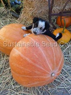 Mammoth Gold Pumpkin and border collie pup!