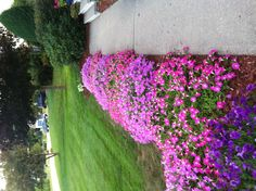 Creeping Petunia that border our side walk.. Did well with this year hot summer weather...