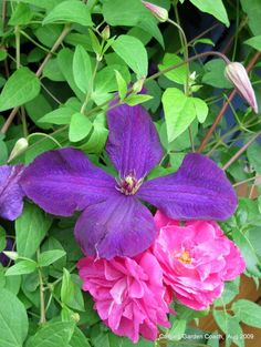 clematis roses on pinterest 45 images on climbing. Black Bedroom Furniture Sets. Home Design Ideas