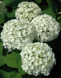 /\ /\ . Hydrangea arborescens 'Annabelle'
