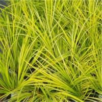 perennial grass.  Acorus, Sweet Flag, Gold Variegated Grass is a golden accent plant in the garden or can be used in container gardens.