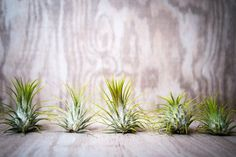 5 Pack Guatemalan Air Plants Tillandsia