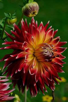 Tea in the Afternoon plant, flore, dalia, dahlias, color natur, bloom, flowers garden, beauti color, beauti flower
