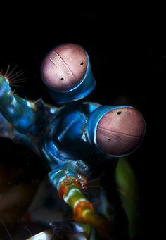 Peacock Mantis Shrimp  upclose and personal    ;)