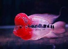 Monkey Head Flower Horn Fish