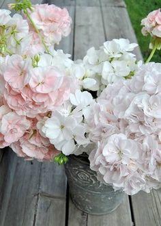 blush pink geraniums