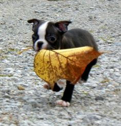 Ruby the Boston Terrier from Waterloo, Indiana - Ruby loves playing with leaves! The bigger the better!