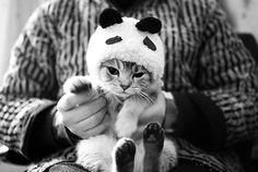 cute, kitty, kitten, cat, panda cats, costum, anim, kitten, panda kitti, kitty, pandas, hat, panda cat
