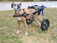 Walkin' Wheels dog wheelchairs. Dogs and Pets can walk again in their Walkin' Wheels Dog Wheelchair