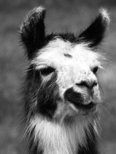 Black & White Llama Print