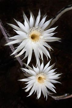 Arizona::  Queen of the Night (night-blooming cereus)   Once a year, after a few weeks of 100 fahrenheit / 40 celcius heat, the night blooming cereus cactuses bloom.