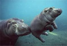 now...this is a Baby Pigmy Hippo..