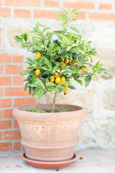 Lemon trees: http://