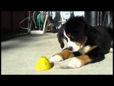Puppy Versus Lemon. I can't handle this.