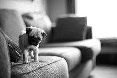It's a big world out there. heart, pug puppies, pug life, pet, baby dogs, pugs, baby animals, pug dog, couches