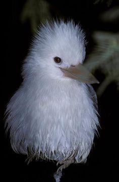 A rare Albino Kookaburra with white feather plumage