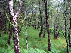 forests, artists, paint birch, birches, tree, birch forest, bedrooms, paintings