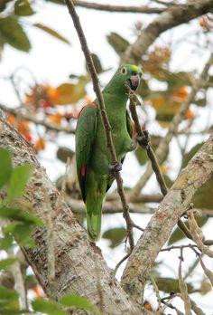 Amazona ochrocephala / Lora cabeciamarilla / Yellow-crowned Parrot, via Flickr.