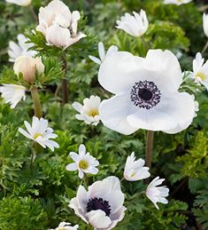 White Anemone Collec