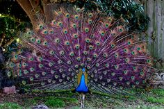 Purple Peacock!!