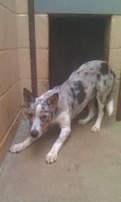 Texas Heeler -   almost looks like Sassy ;-)