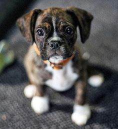 Buddy the Mixed Breed - King Charles Spaniel & Boston Terrier Mix. Looks like a mini-boxer! WANT.