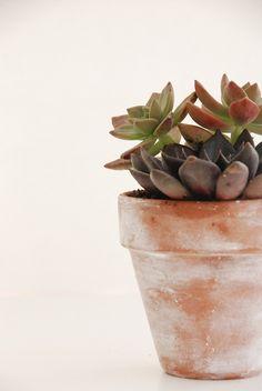 succulents in terracotta pot
