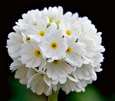 Primula denticulata Alba - White Flower Farm